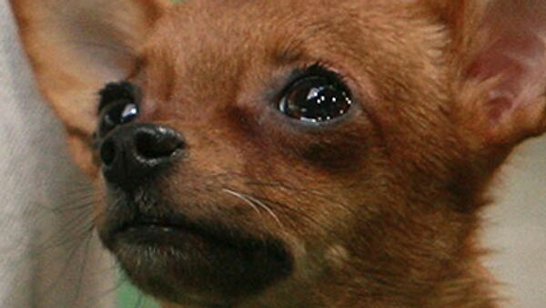 Десятки щенков чихуахуа похищены из специализированного магазина в Бельгии