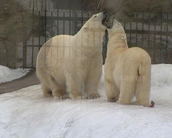 Полтонны ловкости, ума и нежности: брачные игры белых медведей