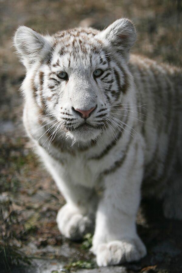 Белый тигренок в Новосибирском зоопарке. Архив