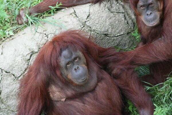 Ученые выявили интеллектуальные различия между обезьянами одного вида