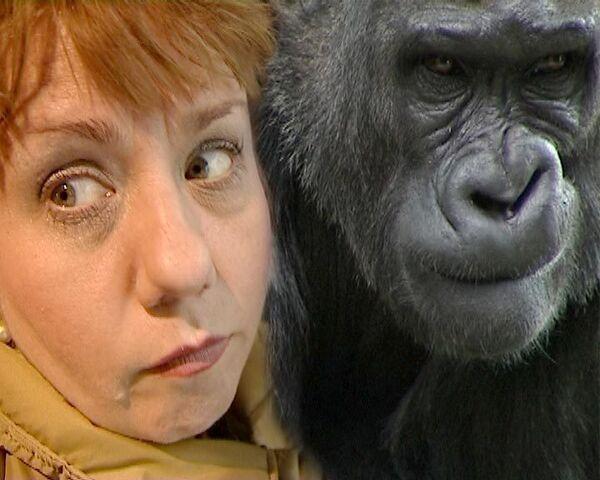 Людям разрешили обезьянничать - День горилл в Московском зоопарке