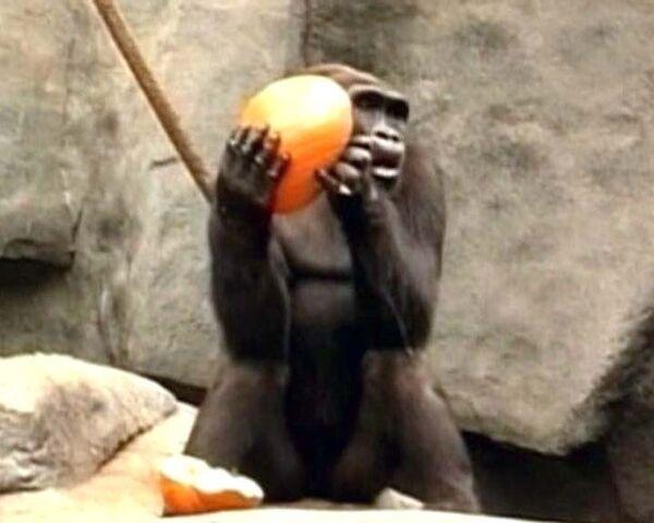 Хэллоуин в зоопарке: всем животным раздали по тыкве