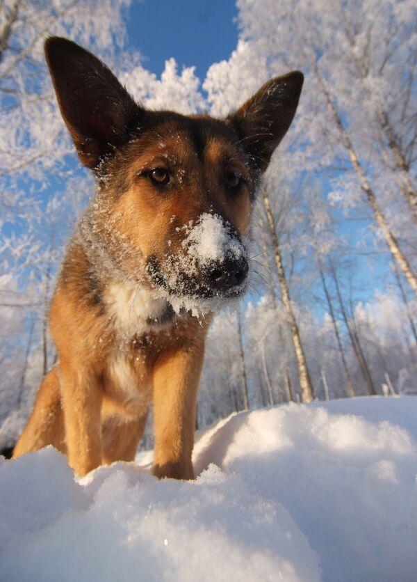 Собака в снегу. Архив