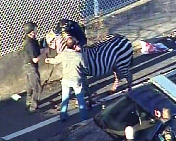 Зебру, парализовавшую движение на трассе, ловили с полицией