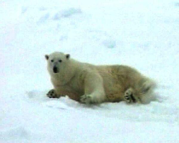 Единственная белая медведица в Великобритании впервые увидела зиму