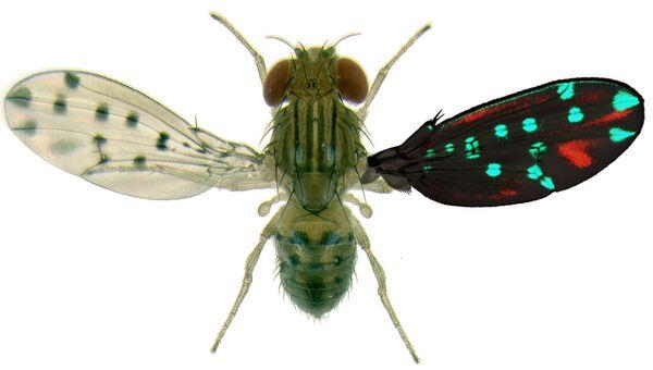 Влияние «генетических переключений» на расцветку крыльев мухи Drosophila guttifera