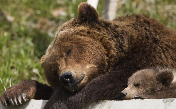 Бурые медведи в зоопарке в Берне