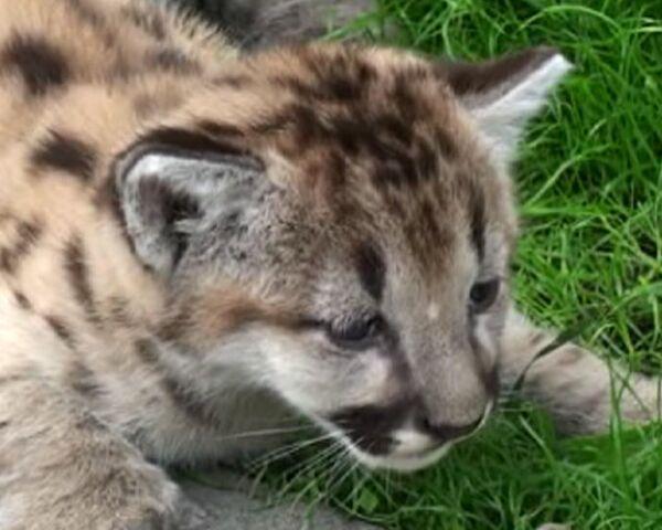 Новорожденные пумы делают первые шаги в нижегородском зоопарке