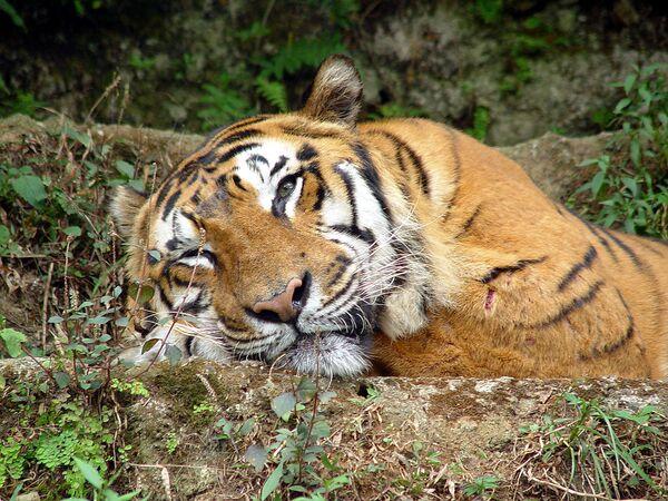 Тигр. Архив