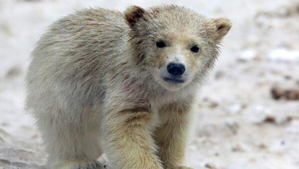 Белый медвежонок, архивное фото