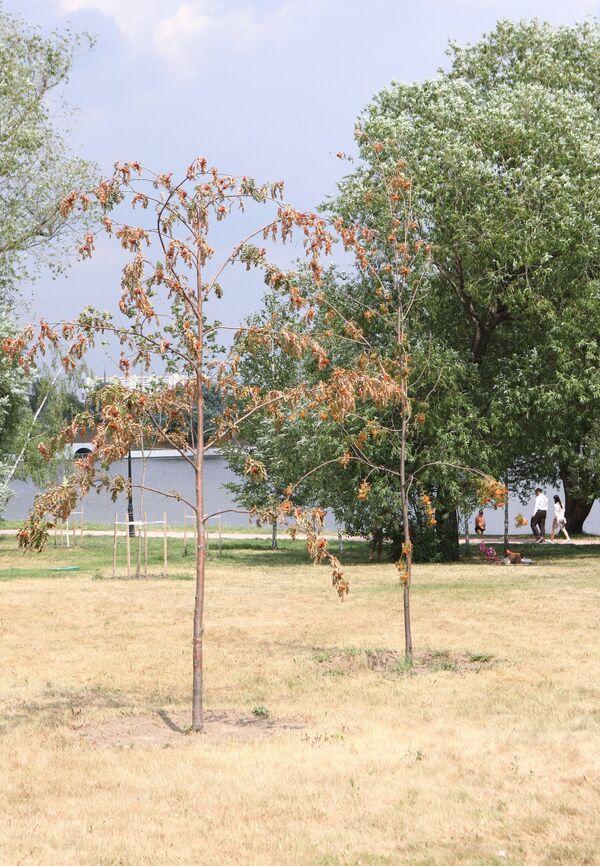 В Москве начали желтеть деревья из-за аномальной жары и недостатка влаги