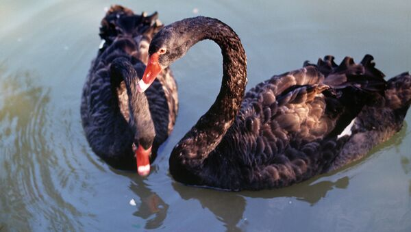 Пара черных лебедей. Архив