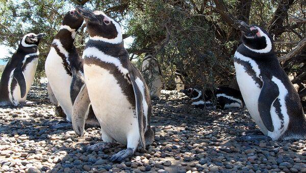 Магеллановы пингвины, архивное фото