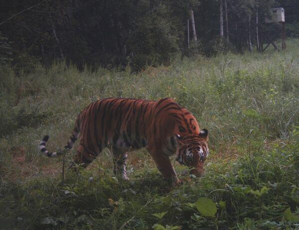 Тигр, снятый фотоловушкой