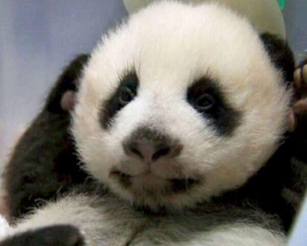 Панд кормят Виагрой, чтобы остановить полное исчезновение особи