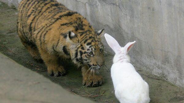 Пятимесячный тигр смотрит на кролика в зоопарке Китая