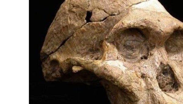 Череп австролопитеке (Australopithecus africanus)