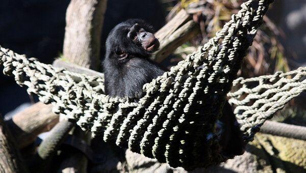 Шимпанзе в зоопарке Сан-Диего