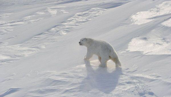 Первые белые медведи появились примерно 600 тысяч лет назад - РИА ... 963df590dcb