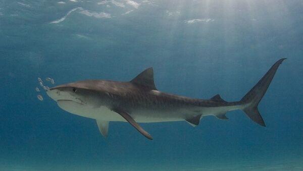 Тигровая акула, Архивное фото