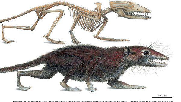 Анатомическое устройство и внешний облик  Juramaia sinensis