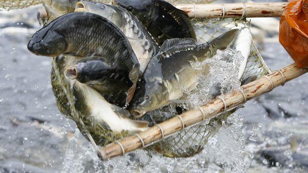 Отлов рыбы в рыбном хозяйстве Волма