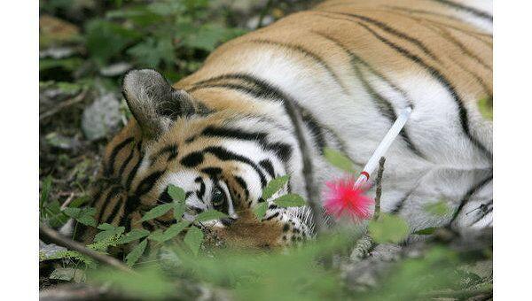 Ветеринары усыпили амурскую тигрицу, сбитую автомобилем в Приморье