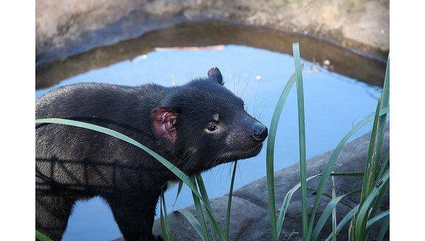 Тасманский дьявол занесен в перечень исчезающих видов в Австралии