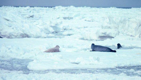 Пятнистый тюлень