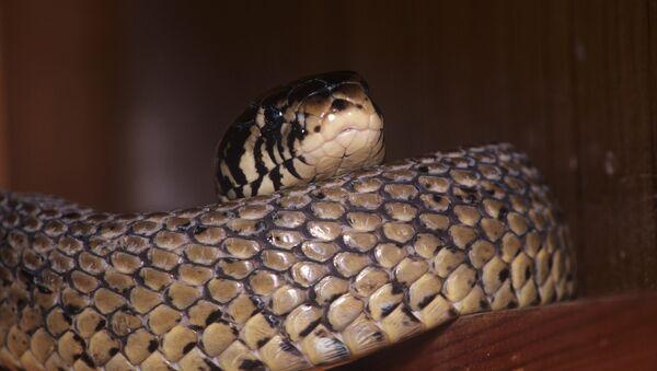 Ядовитая змея, архивное фото