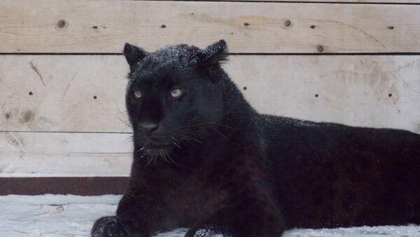 Пантера. Архивное фото