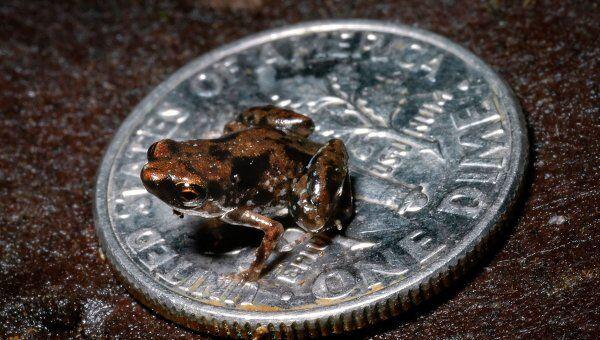 Самая маленькая лягушка - Paedophryne amauensis - на десятицентовой монете
