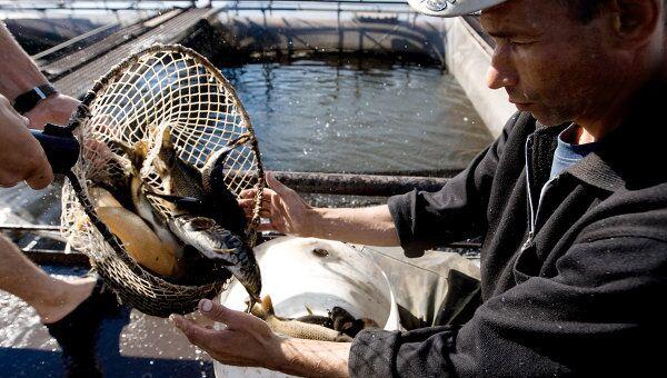 Разведение рыбы. Архивное фото