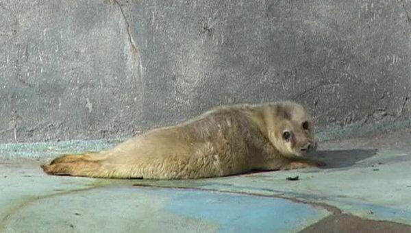 Новорожденный тюлененок принимает солнечные ванны в зоопарке Калининграда