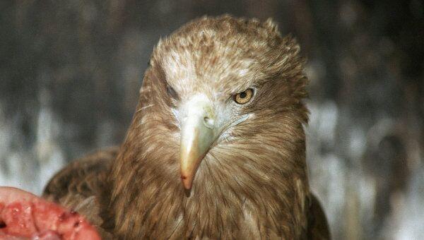 Орлан-белохвост - птица 2013 года в России