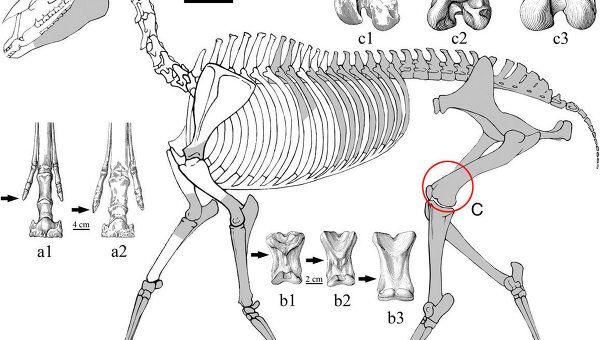 Скелет древней лошади гиппариона Hipparion zandaense, который помог ученым уточнить время появления Тибета