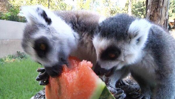 Животные в зоопарке Рима едят арбузы и грызут лед, чтобы спастись от жары