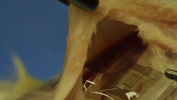 Ученые вживляют растворимый имплантат с датчиками бактериального заражения под кожу крысы