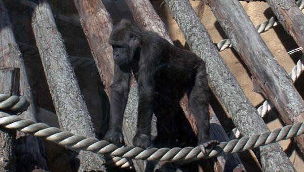 Переехавшая в Москву горилла нежится на солнце и знакомится с сородичами