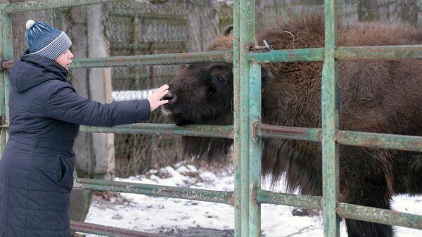 Зубр в питомнике Приокско-Террасного государственного природного биосферного заповедника в Московской области