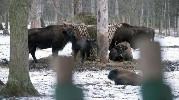 Зубры в питомнике Приокско-Террасного государственного природного биосферного заповедника в Московской области