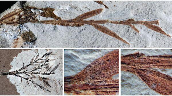 Голотип вида Retrophyllum oxyphyllum, ранее считавшийся самым древним из известных бамбуков