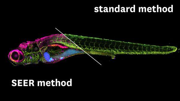 Сравнение результатов флуоресцентного биоимиджинга, полученных методом SEER (слева) и стандартным методом визуализации (справа)