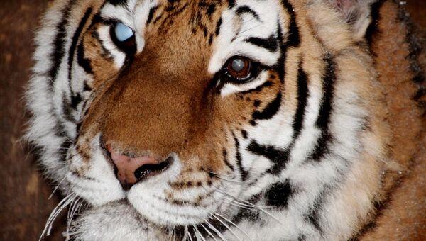 Слепнущая тигрица Глюкоза из Ивановского зоопарка