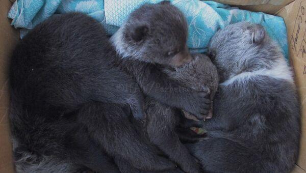 Лесорубы в Кировской области нашли четырех медвежат
