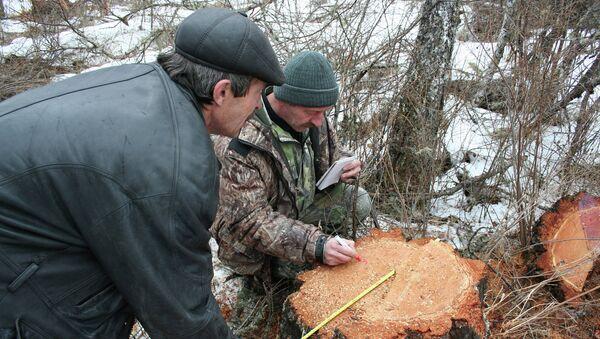 Рощу вековых лиственниц вырубили неизвестные на Алтае
