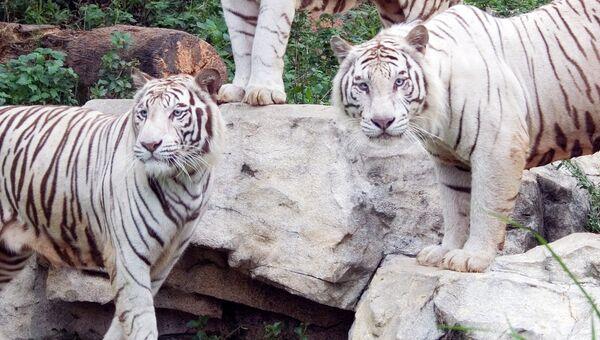 Белые тигры в одном из зоопарков Китая