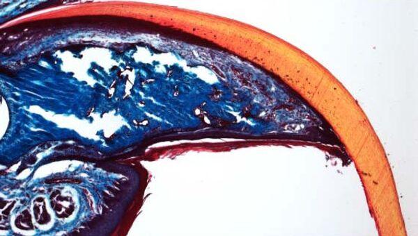 Кончики пальцев, включая кость, у мыши после ампутации могут отрасти за 5 недель