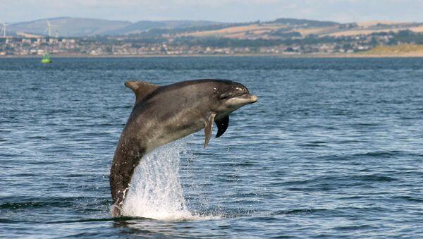 Шотландский дельфин-афалина в водах Северного моря