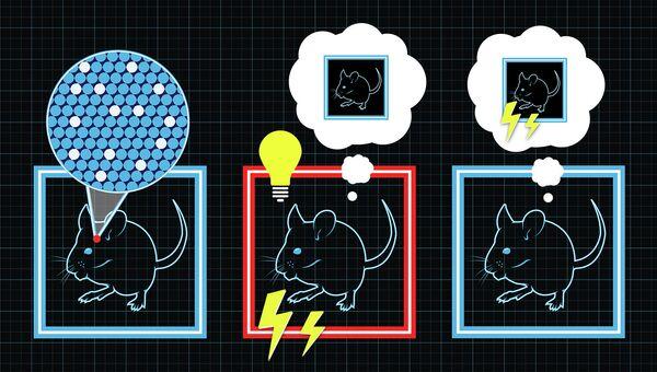 Рисунок поясняет процесс создания фальшивых воспоминаний у мышей